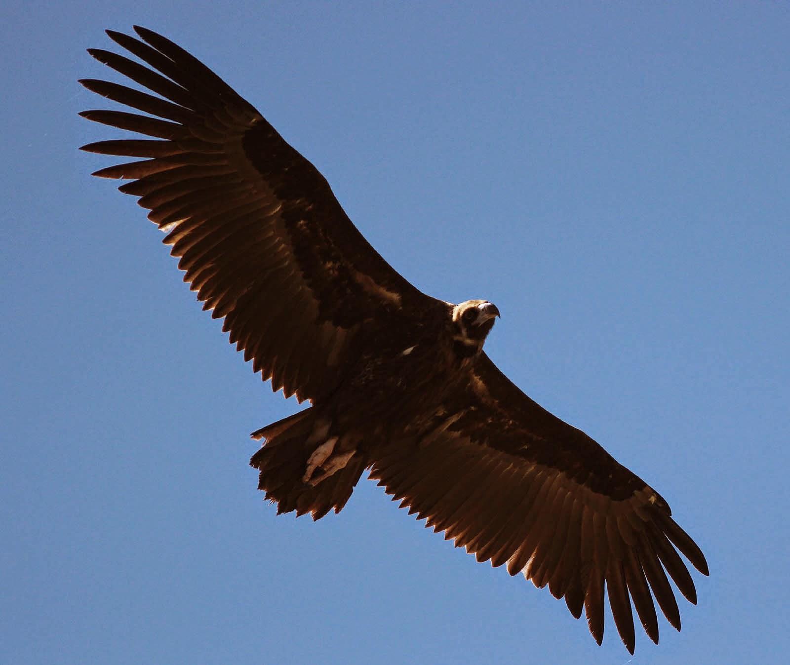The biggest birds of prey