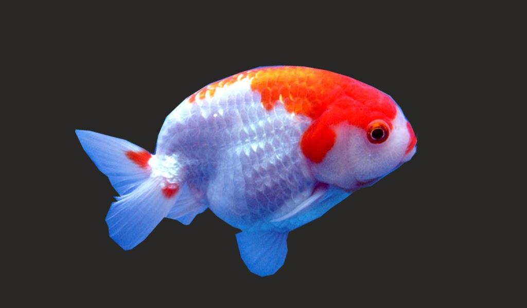 Mas Koki Rancu Greenfish Indonesia