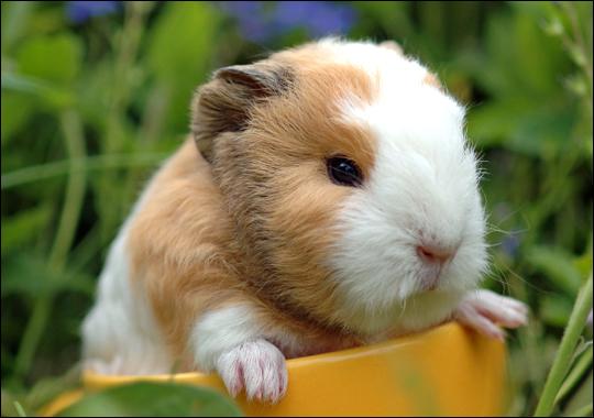Conhecido BLOG PET: Porquinhos-da-índia Que tal? FU86