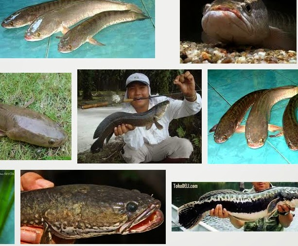 Faedah Manfaat daging Ikan kutuk/Gabus