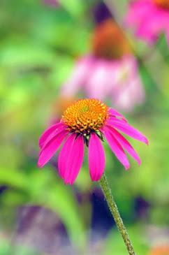 Echnicea purpurea 201