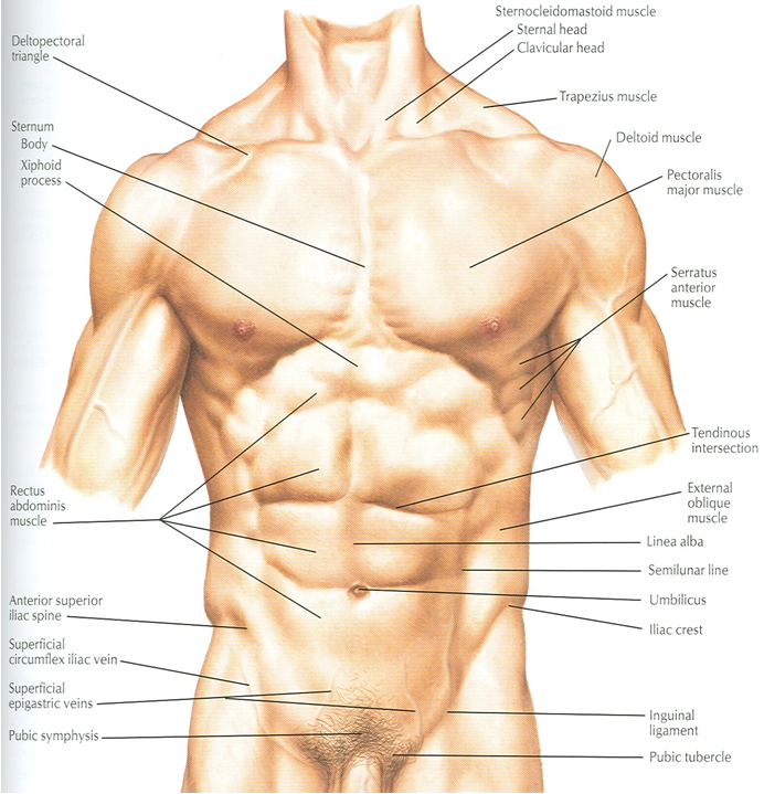 Docs Network: CLINICAL ANATOMY OF ANTERIOR ABDOMINAL WALL & RECTUS ...