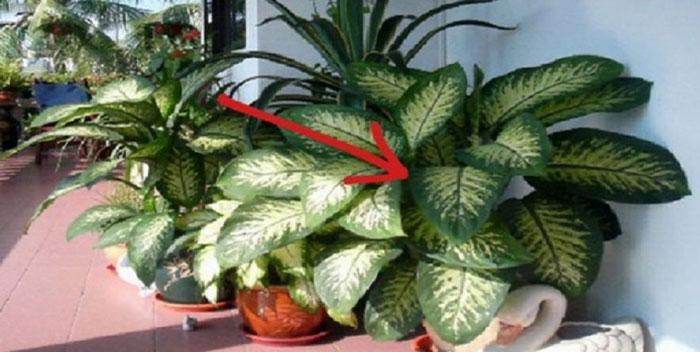 Conspiraciones y noticias actuales dieffenbachia amoena for Planta venenosa decorativa