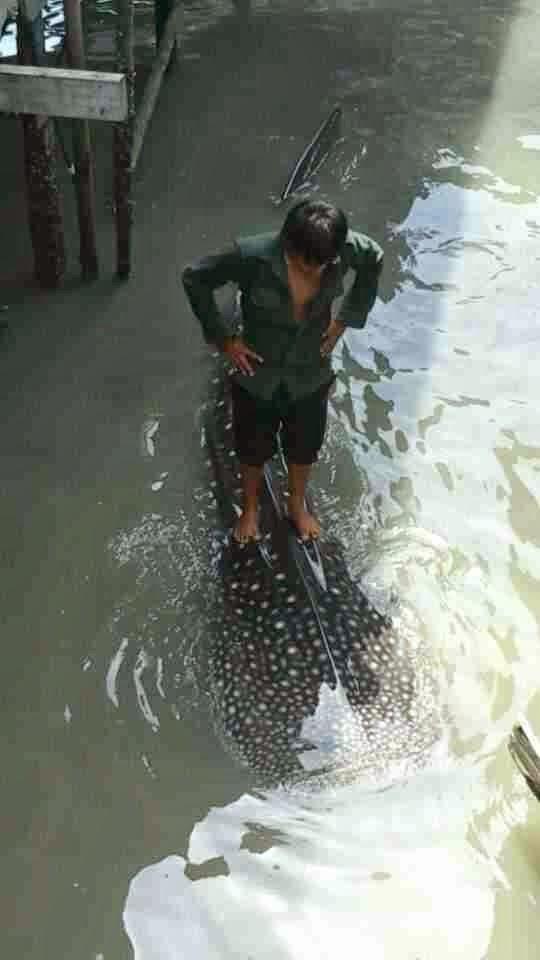 5 Gambar Ikan Jerung Di Kampung Pukat Tanjung Batu Laut Tawau