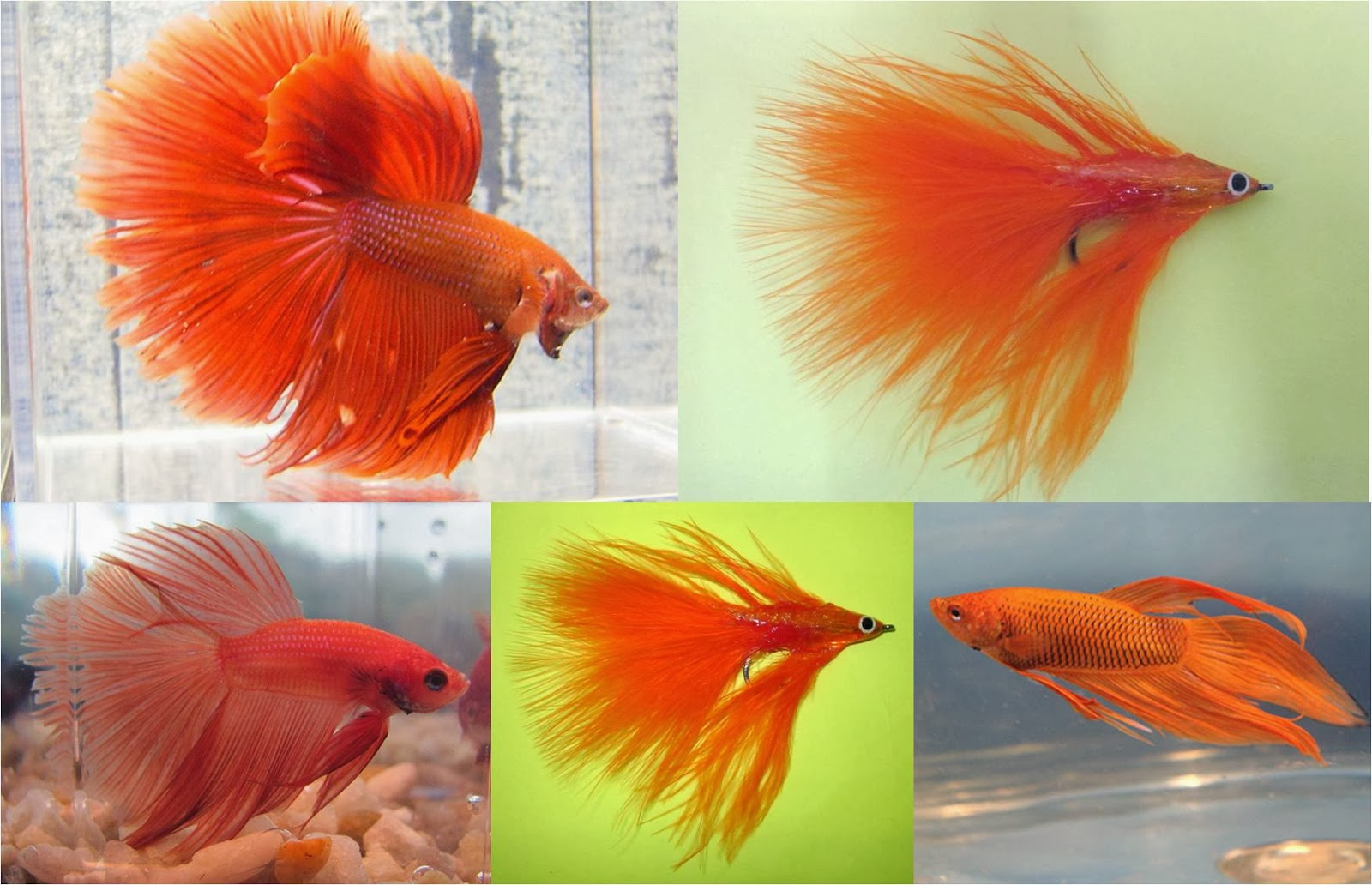 pet fish: Betta Fish Colors and Features