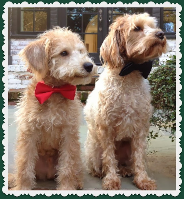 Schnoodle Dogs