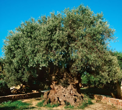 Elia Bouybon, Olive Tree of Vouves