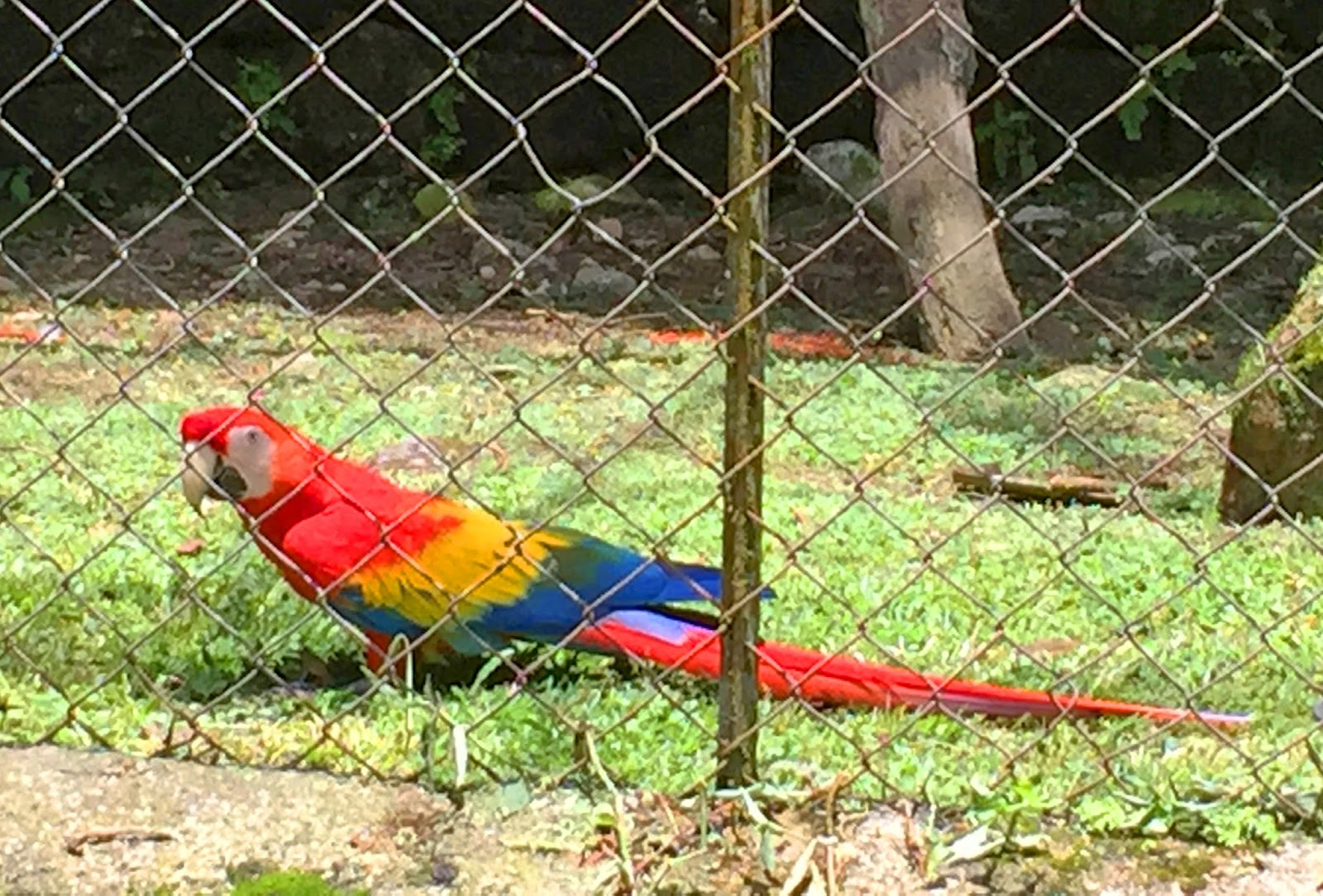 The Guacamaya is one of the most colorful and beautiful birds from Panama!