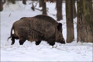 Kňour na sněhu u lesa