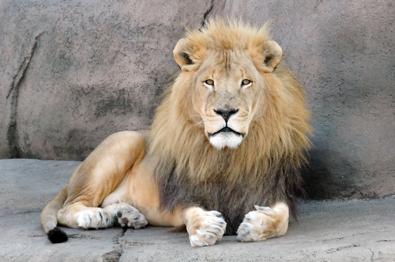 african lions - photo #11