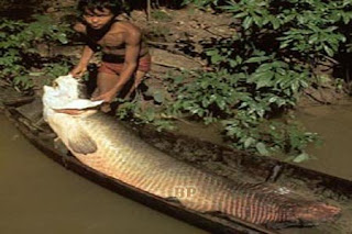 Predator_Sungai_Amazon_Pirarucu_1