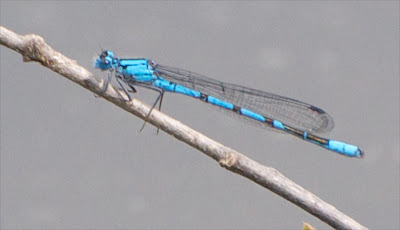 Slender Bluet (Enallagma traviatum) f