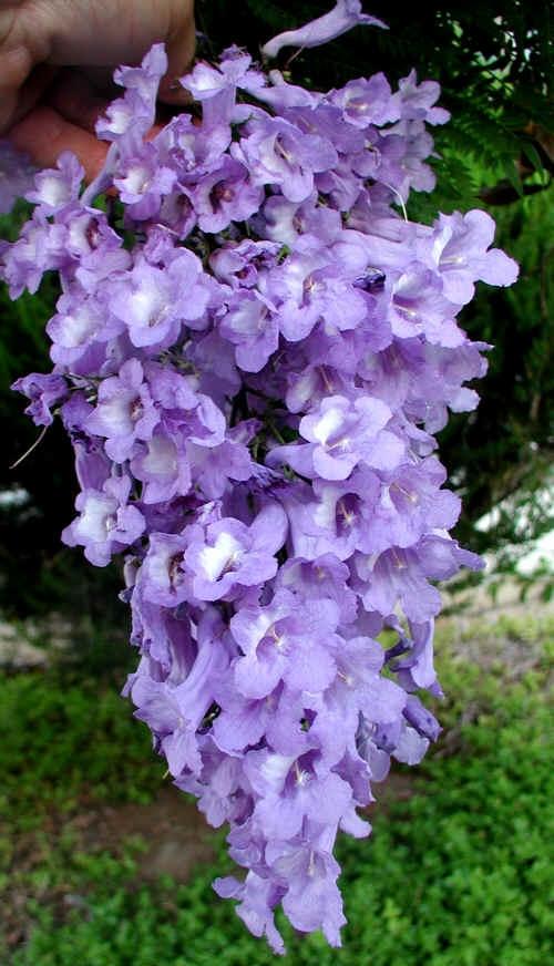 Racimo de FloresJacaranda Mimosifolia Flowers