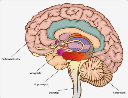 Brain Hippocampus6