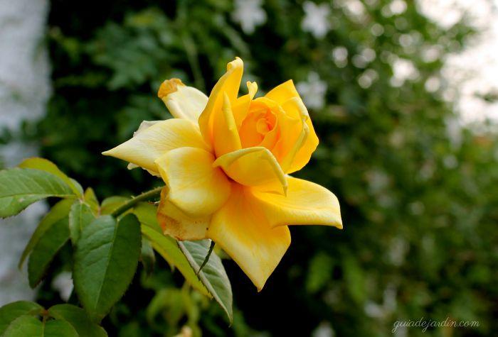 Rosal amarillo Landora
