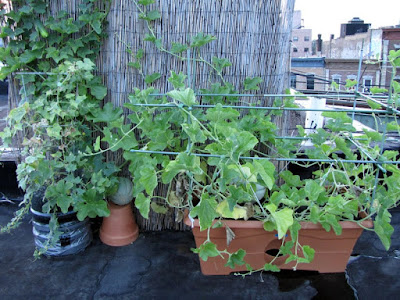 Bucolic Bushwick 2010 Rooftop Garden Vegetable Plants