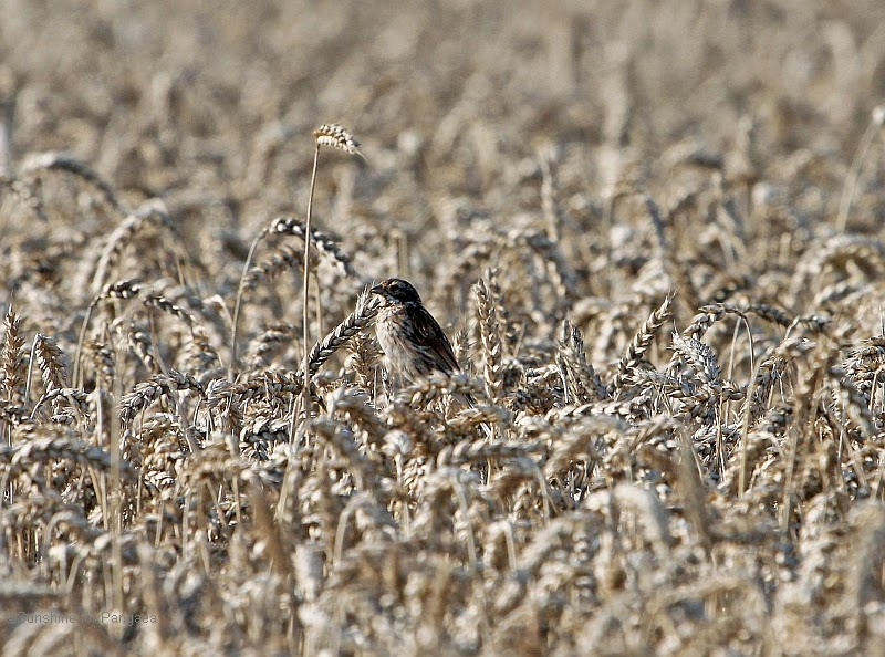 photo of a sparrow in a corn field
