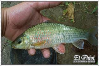 Memancing Ikan Wader Merupakan Hal Yang Cukup Menyenangkan Karena Ikan