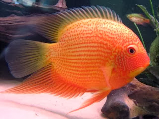 severum fish