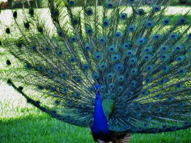 Peacock strutting, The Quadrangle, Ft. Sam Houston, San Antonio, Texas - June 2, 2015