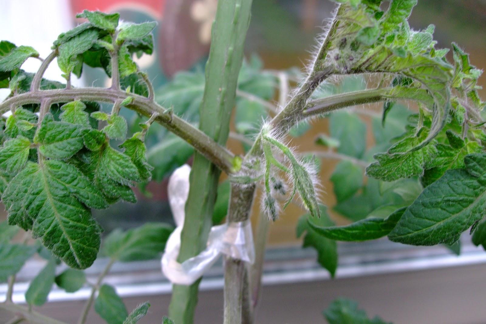 mini slow life: ベランダ栽培~トマトの栄養過多??~