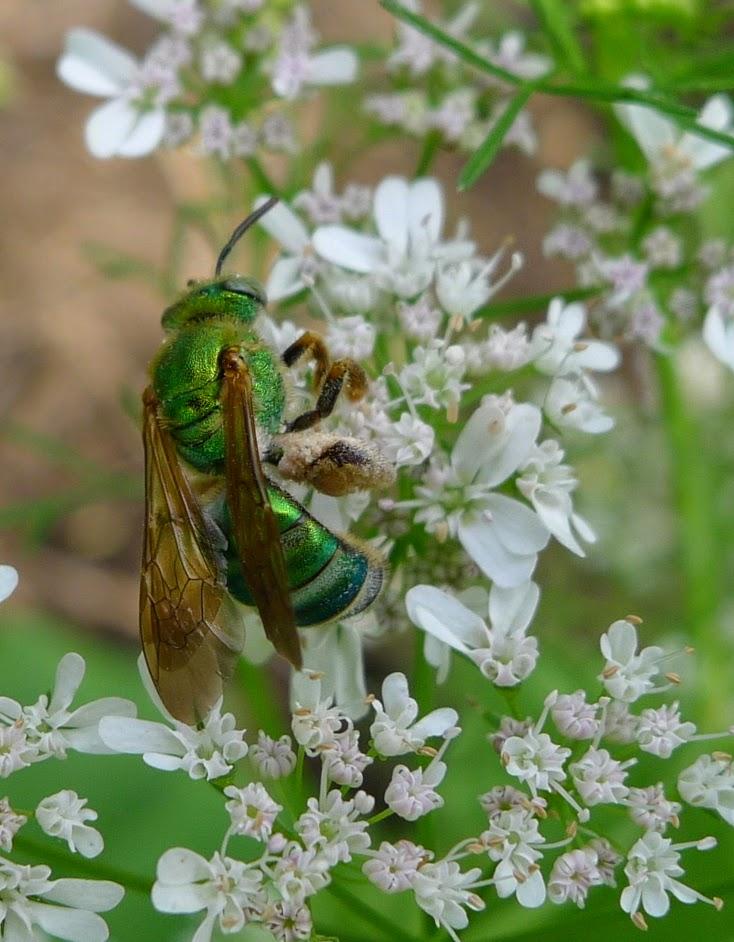 Sweat Bee, bees, pollinators, urban farming