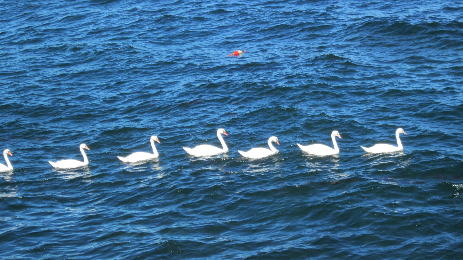 Seven Swans A-Swimming