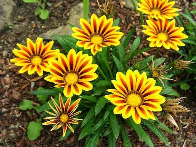 Gazania Is Native To South Africa Where It Also Known As Treasure Flower The Best Thing About This That Available In A Variety Strange