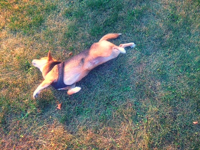 shiba inu, fox in the grass, fox in upstate New York