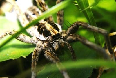 Fotos arañas Lycosa argentinas (Lycosa cosquin, la Lycosa pampeana y Lycosa pardalina).