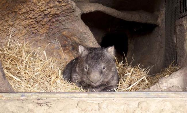 el wombat mas viejo del mundo