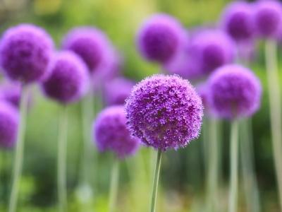 Imagenes De Flores Violetas Gratis - Rosas moradas con frases de amistad Imagenes