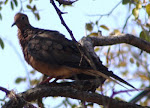 Photograph of dark brown dove in Burnet County, Texas, taken September, 2011.
