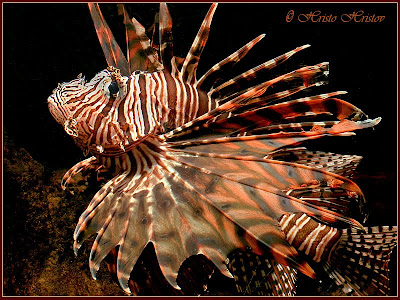 Beautifully of Lion Fish