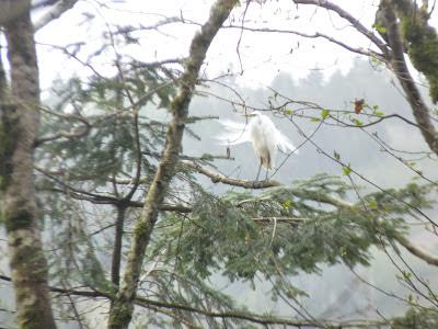 male egret in tree