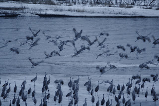 Early Sandhill Crane Migration Arrivals