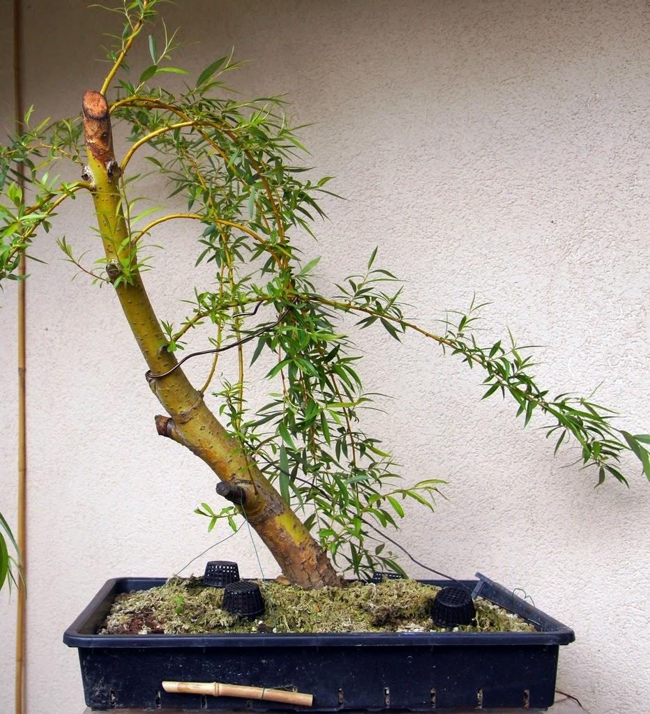 Bouture saule pleureur bonsai - Comment faire un bonsai ...