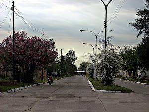 Laureles florecidos en Av. 9 de julio