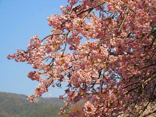 """早咲き桜で知られる""""河津さくら""""。"""