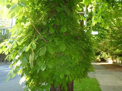 Aesculus hippocastanum (Horse-Chestnut)