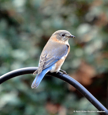 perched bluebird