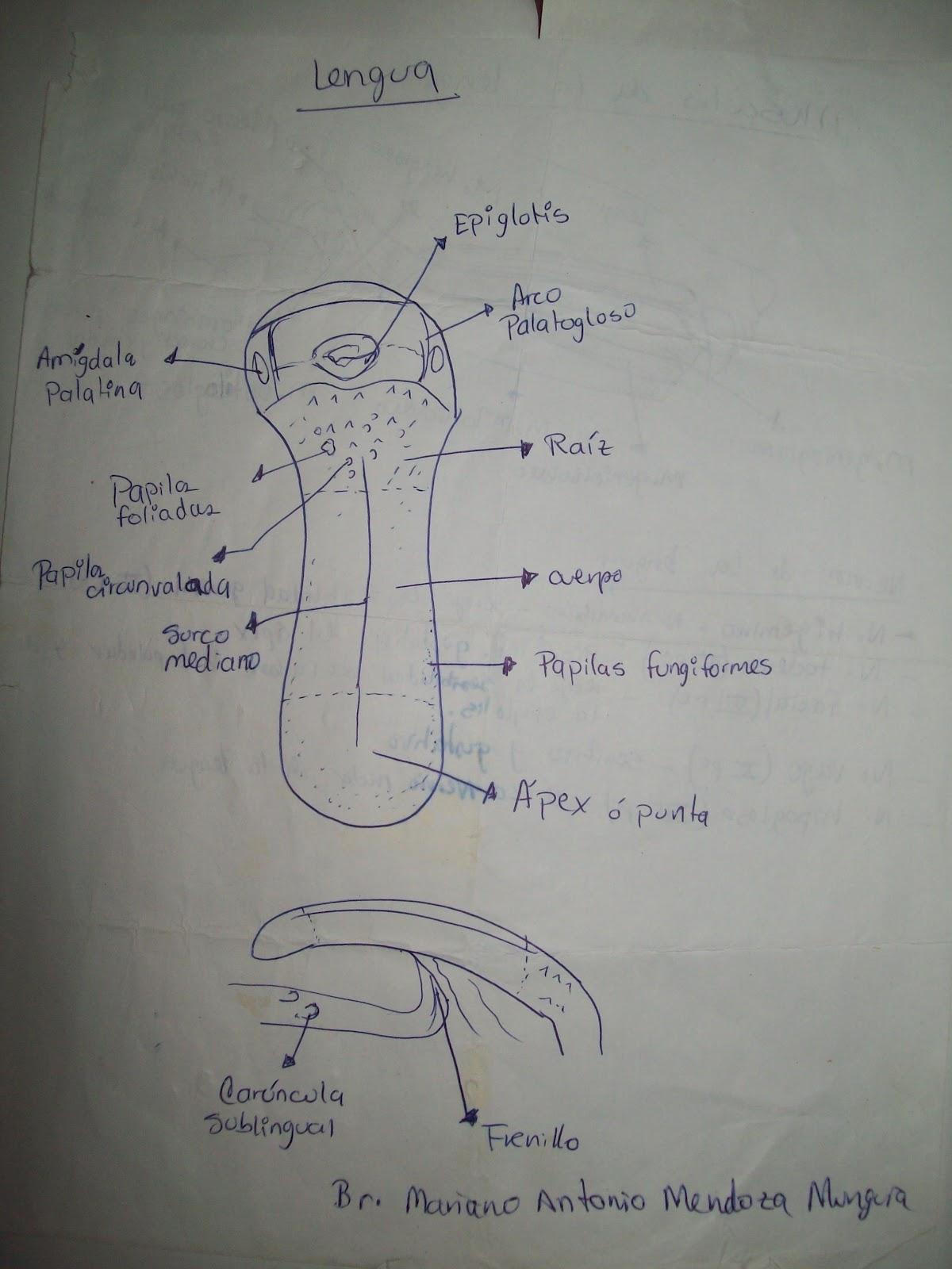 Animal Nica Med: Anatomía Veterinaria