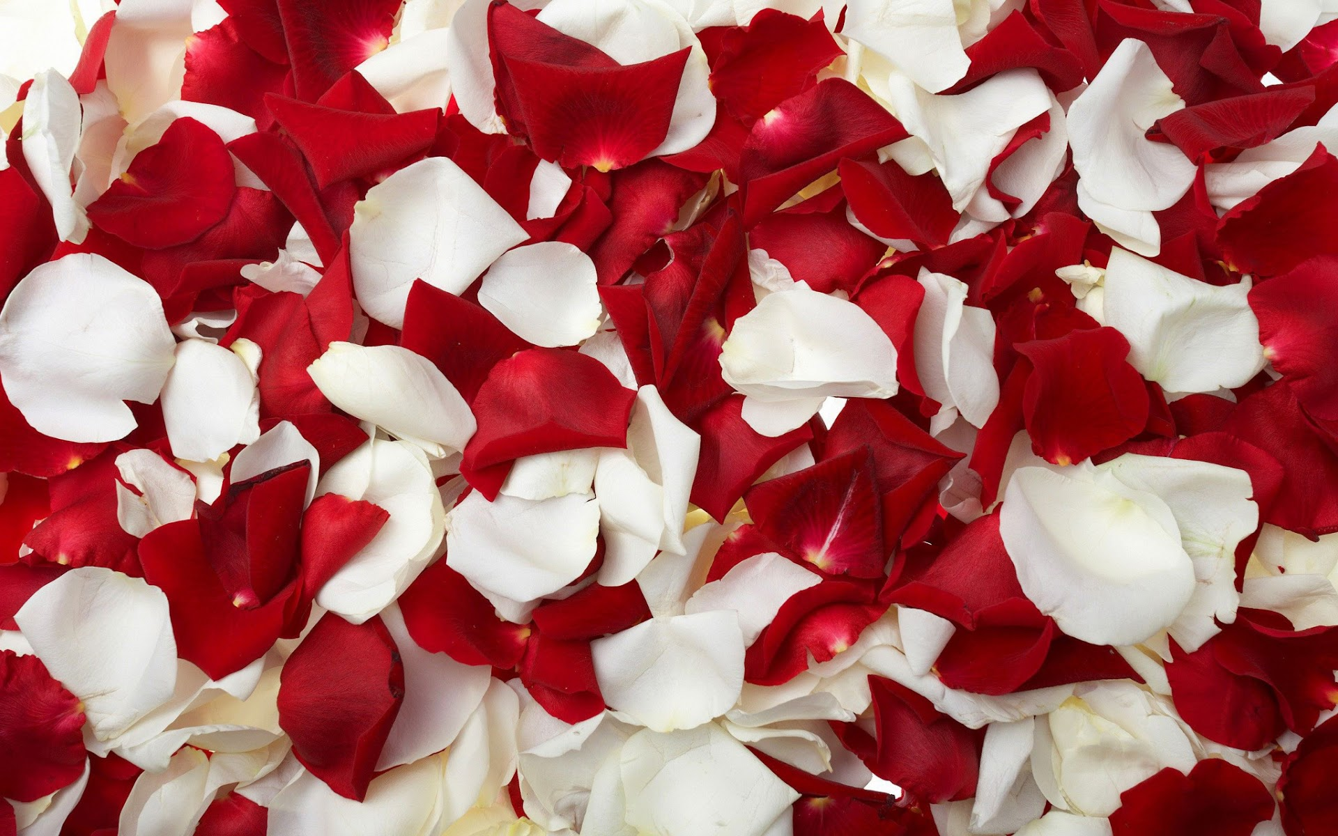 White Rose Petals Wallpaper Rose Petals hd Wallpaper is