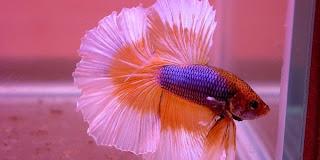 Peluang Bisnis Ikan Hias Cupang