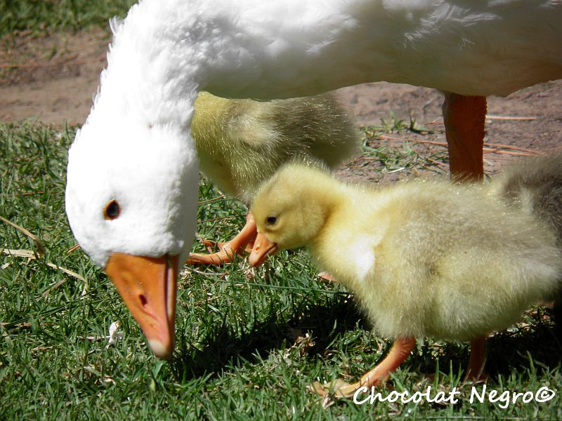 Goose Family At Lavender Blue