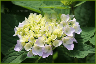 Hydrangea, via The Chicken Chick®