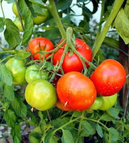 Homegrown garden tomato harvest: Dona tomatoes