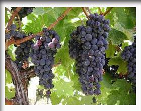 Buah_anggur_34