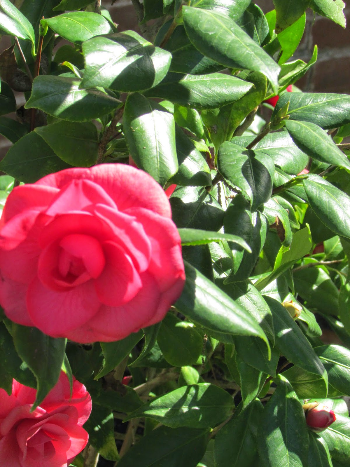 http://agrilife.org/etg/2012/12/13/camelias-southern-charm-with-a-long-history/