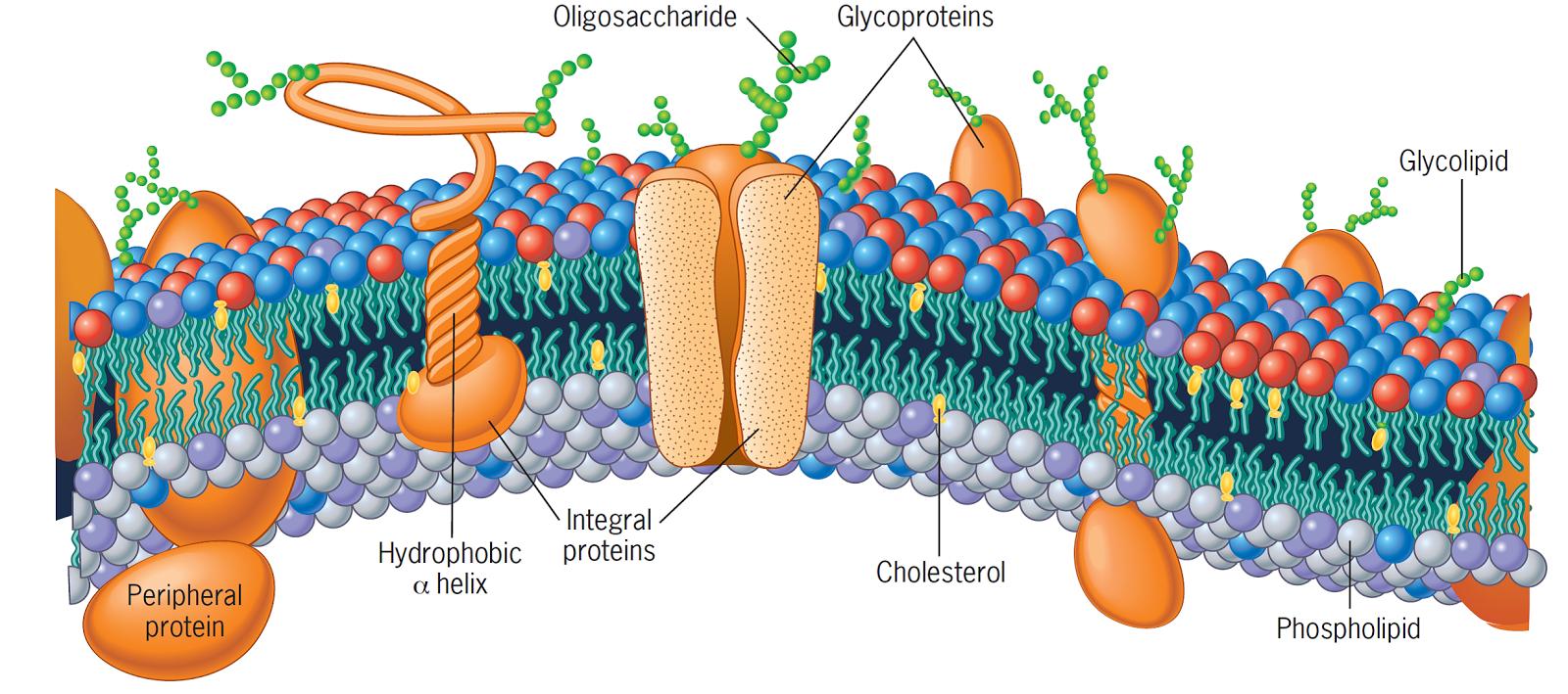 Biologia celular membrana plasmatica for Pared y membrana celular
